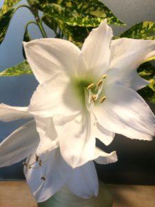 Bouquet blanc ou comment rhabiller une amaryllis pour l'hiver?