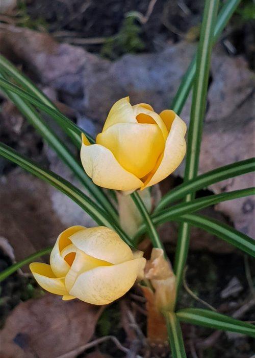crocus jaunes
