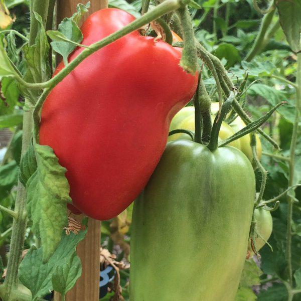 tomates Cornue des Andes
