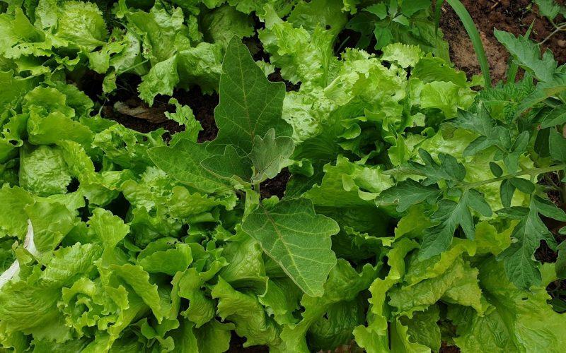 plant d'aubergine au milieu des salades