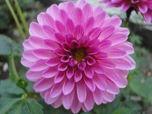 D comme… Dahlia, «fleur mandala»