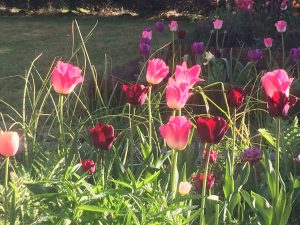 Le temps des tulipes