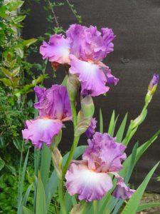 I comme… Iris, fleur arc en ciel