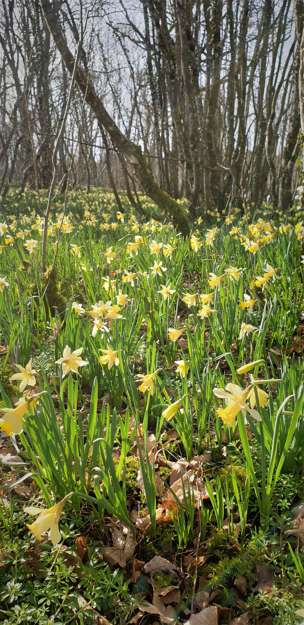 jonquilles sauvages