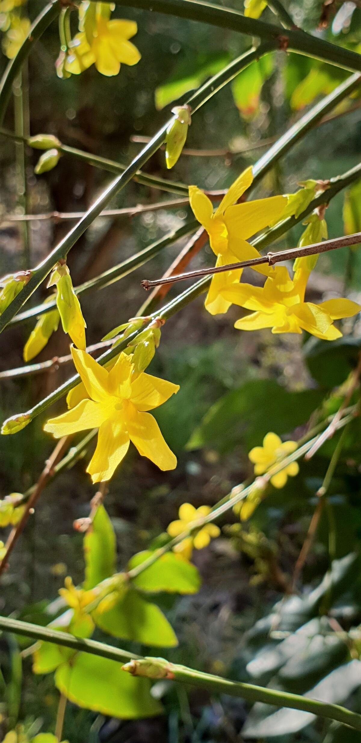 Fleur de jasmin d'hiver
